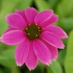 Echinacea 'PowWow Wild Berry' PURPLE CONE FLOWER