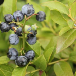 Vaccinium x 'Northcountry' BLUEBERRY
