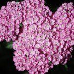 Achillea millefolium 'Apple Blossom' YARROW