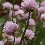 Allium schoenprasum CHIVES
