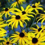 Rudbeckia 'Goldsturm' BLACK-EYED SUSAN/GLORIOSA DAISY