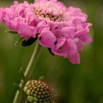Scabiosa columbaria 'Flutter Rose Pink'