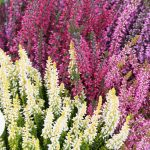 Calluna vulgaris HEATHER