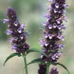 Agastache blackadder GIANT HYSSOP