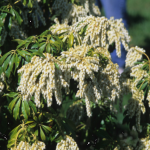Pieris japonica 'White Cascade' LILY OF THE VALLEY SHRUB
