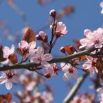 Prunus pissardii Nigra FLOWERING PLUM