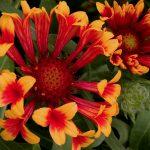 Gaillardia x 'Fanfare' BLANKET FLOWER