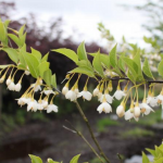 Styrax Japonicus 'Pink Chimes' JAPANESE SNOWBELL