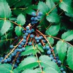Mahonia nervosa CASCADE OREGON GRAPE