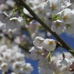 Prunus x yedoensis Yoshino YOSHINO CHERRY