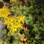 Sedum spathulifolium BROAD LEAVED STONECROP