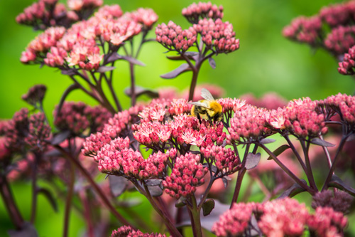 Bee and Sedum Spectabile